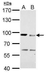 MAD1 Antibody in Western Blot (WB)