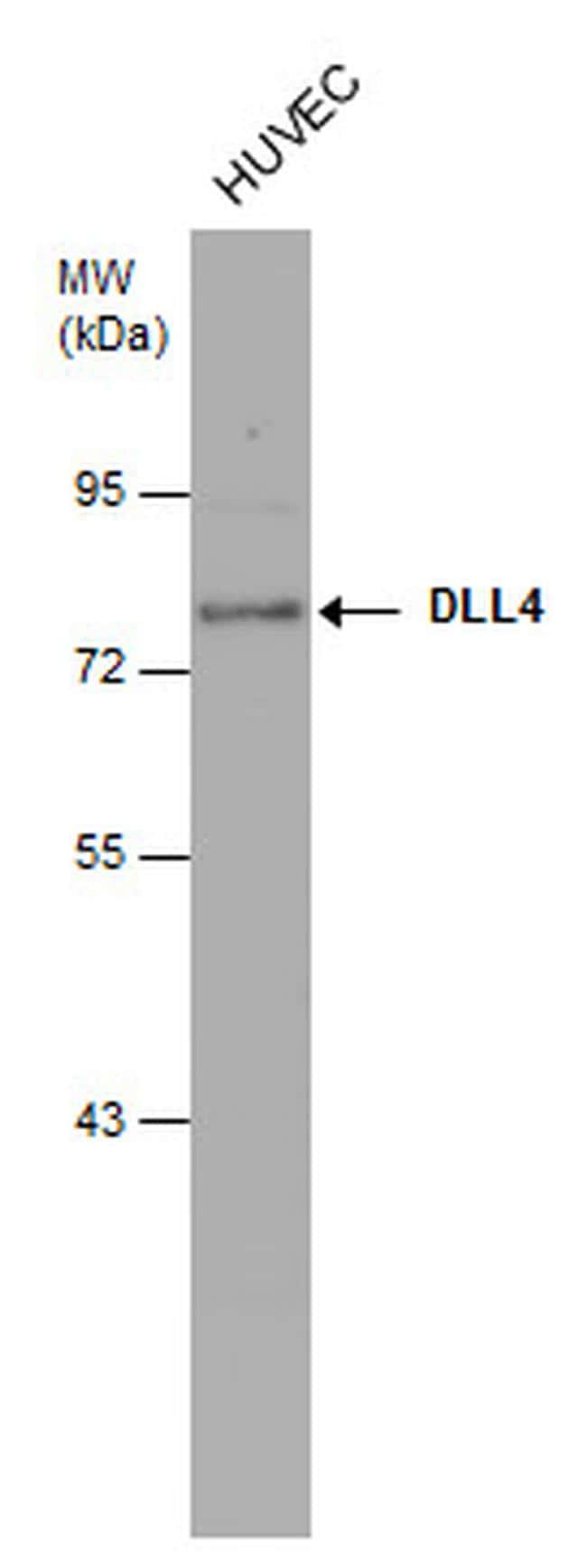 DLL4 Antibody in Western Blot (WB)