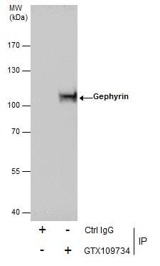 Gephyrin Antibody in Immunoprecipitation (IP)