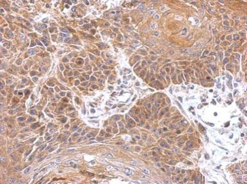 Gephyrin Antibody in Immunohistochemistry (Paraffin) (IHC (P))