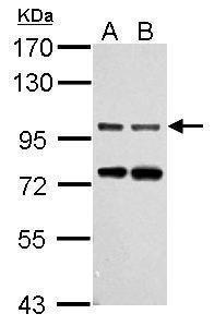 Gephyrin Antibody in Western Blot (WB)