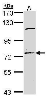 POLH Antibody in Western Blot (WB)