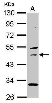 USH1G Antibody in Western Blot (WB)