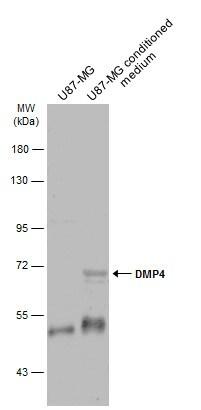 DMP4 Antibody in Western Blot (WB)