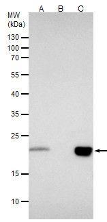 BID Antibody in Immunoprecipitation (IP)