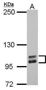 SP1 Antibody in Western Blot (WB)
