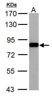 RSK2 Antibody in Western Blot (WB)