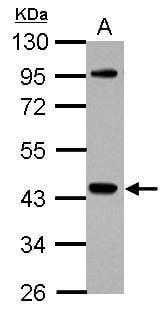 NCK1 Antibody in Western Blot (WB)