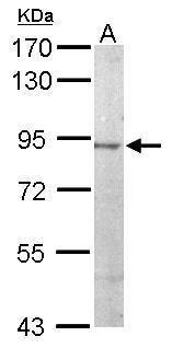 JIP2 Antibody in Western Blot (WB)