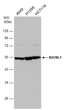 RUVBL1 Antibody in Western Blot (WB)