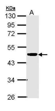 CKMT2 Antibody in Western Blot (WB)