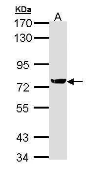 XRCC1 Antibody in Western Blot (WB)