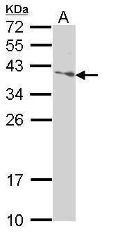 SAP30BP Antibody in Western Blot (WB)