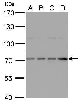 HDC Antibody in Western Blot (WB)