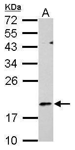 RGS1 Antibody in Western Blot (WB)