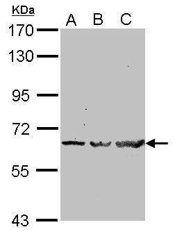 TRAF6 Antibody in Western Blot (WB)