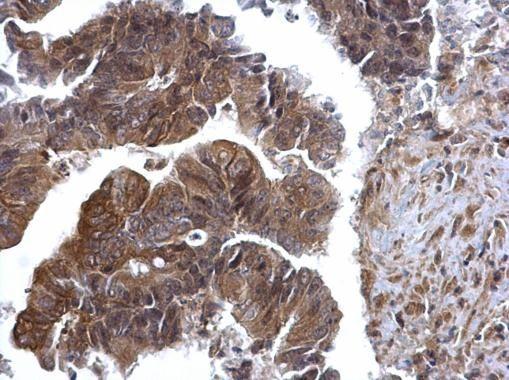 ERK2 Antibody in Immunohistochemistry (Paraffin) (IHC (P))