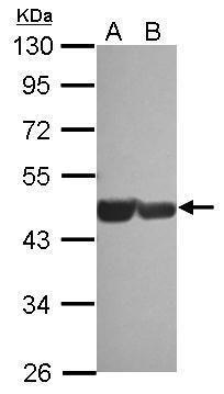 GATA4 Antibody in Western Blot (WB)
