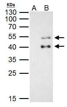PBX1 Antibody in Immunoprecipitation (IP)