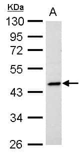 PPAR delta Antibody in Western Blot (WB)