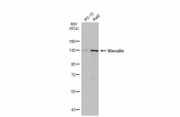 Vinculin Antibody in Western Blot (WB)