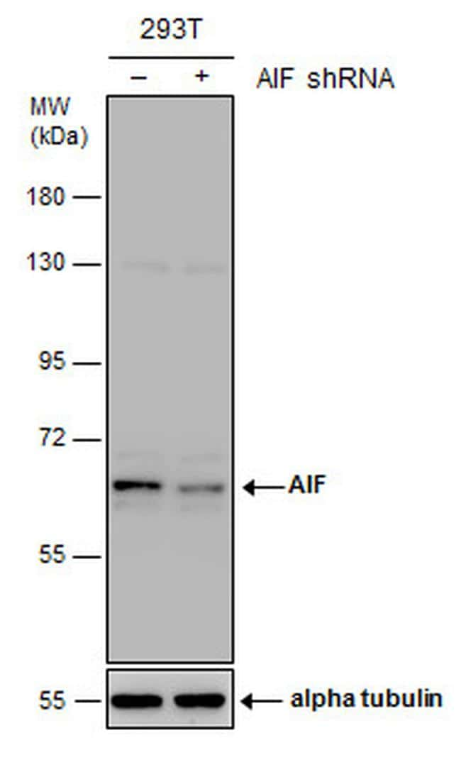 AIF Antibody in KnockDown