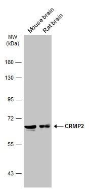 CRMP2 Antibody in Western Blot (WB)