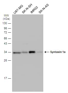Syntaxin 1 Antibody in Western Blot (WB)