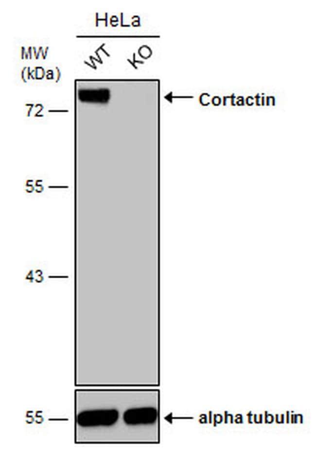 Cortactin Antibody in Knockout