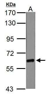 NR1D1 Antibody in Western Blot (WB)