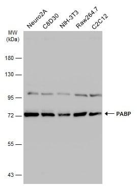 PABP Antibody in Western Blot (WB)