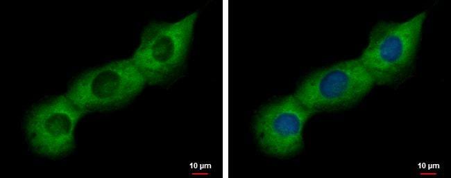 PABP Antibody in Immunofluorescence (IF)