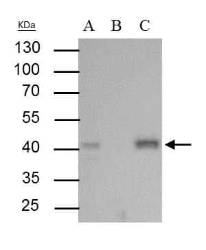 BMI-1 Antibody in Immunoprecipitation (IP)
