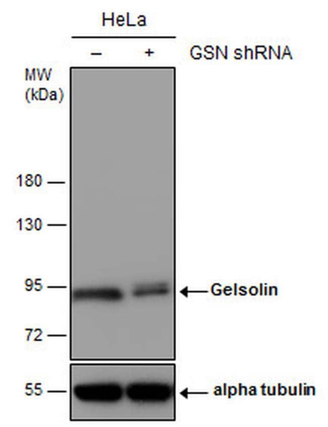 Gelsolin Antibody in KnockDown