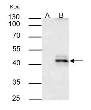 HLA-A Antibody in Immunoprecipitation (IP)
