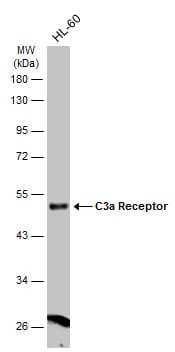 C3a Receptor Antibody in Western Blot (WB)