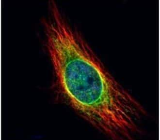 Cathepsin S Antibody in Immunofluorescence (IF)