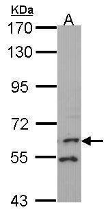FMO1 Antibody in Western Blot (WB)