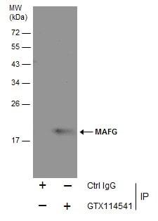 MAFG Antibody in Immunoprecipitation (IP)