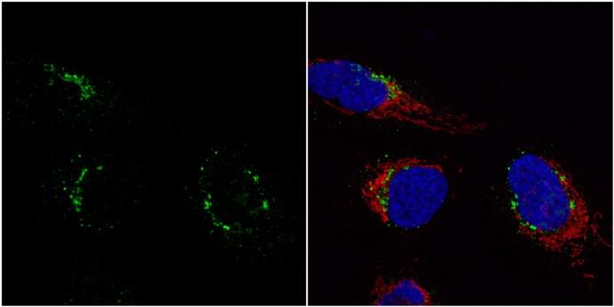 Nucleobindin 1 Antibody in Immunocytochemistry (ICC)