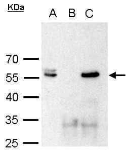 POU3F2 Antibody in Immunoprecipitation (IP)