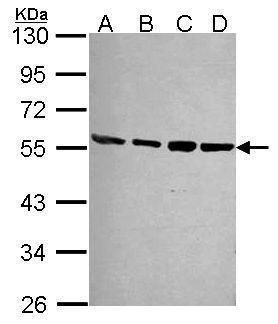 PSMD4 Antibody in Western Blot (WB)