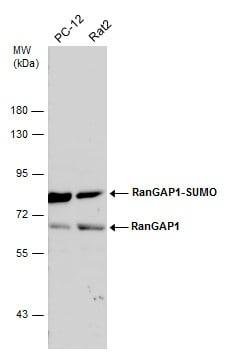 RANGAP1 Antibody in Western Blot (WB)