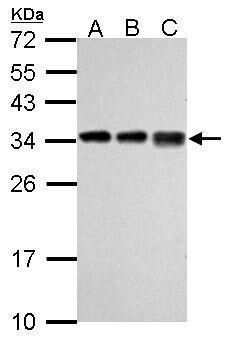 RPL7A Antibody in Western Blot (WB)