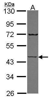 SEMG1 Antibody in Western Blot (WB)