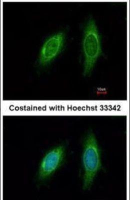 SGTA Antibody in Immunofluorescence (IF)
