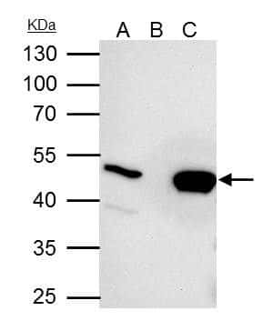UQCRC2 Antibody in Immunoprecipitation (IP)