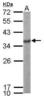 SRSF1 Antibody in Western Blot (WB)