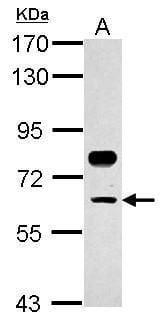 TFCP2 Antibody in Western Blot (WB)