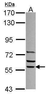 SRP54 Antibody in Western Blot (WB)